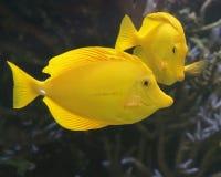 Желтый цвет тяней Стоковая Фотография RF