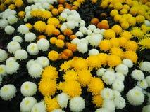 желтый цвет хризантемы белый Стоковая Фотография RF
