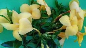 Желтый цвет цвета цветка cathartica Allamande стоковая фотография rf