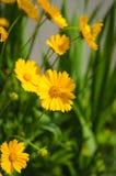 Желтый цвет цветет предпосылка Стоковая Фотография
