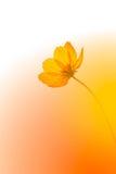Желтый цвет цветет цветение в теплом восходе солнца в утре Стоковое Фото