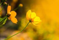 Желтый цвет цветет цветение в теплом восходе солнца в утре Стоковое Изображение RF