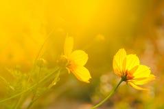 Желтый цвет цветет цветение в теплом восходе солнца в утре Стоковые Фото