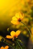 Желтый цвет цветет цветение в теплом восходе солнца в утре Стоковые Изображения