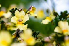 Желтый цвет цветет pansy Стоковая Фотография