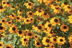 Желтый цвет цветет rudbeckia Стоковые Фото