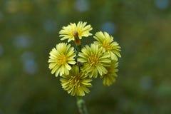 Желтый цвет цветет serriola Lactuca салата Стоковое Изображение RF