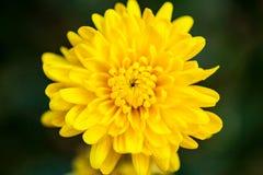 Желтый цвет цветка близкий поднимающий вверх Стоковые Изображения