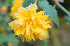 Желтый цвет цветка горы Стоковое Фото