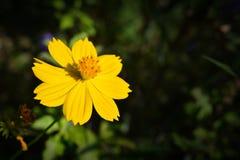 желтый цвет цветка космоса Стоковое фото RF