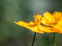 желтый цвет цветка космоса Стоковая Фотография