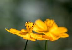 желтый цвет цветка космоса Стоковая Фотография RF
