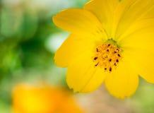 желтый цвет цветка космоса Стоковое Изображение RF