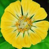 желтый цвет цветка круглый Стоковые Изображения RF