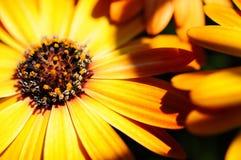 Желтый цвет цветка маргаритки Стоковое фото RF