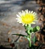 желтый цвет цветка малый Стоковое Изображение