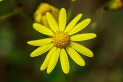 желтый цвет цветка одичалый Стоковое Изображение