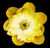 Желтый цвет цветка пиона на черноте изолировал предпосылку с путем клиппирования Природа Крупный план отсутствие теней Сад Стоковые Фото
