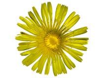 желтый цвет цветка предпосылки белый Стоковое Фото
