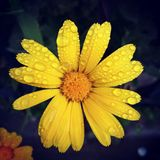 Желтый цвет цветка с росой Стоковые Изображения RF
