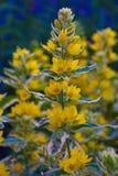 желтый цвет цветка тропический Стоковое фото RF