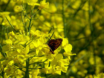 желтый цвет цветков бабочки Стоковые Изображения