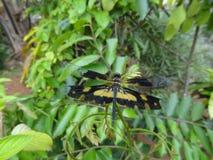 Желтый цвет - черный Dragonfly стоковые фотографии rf