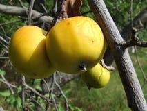 Желтый цвет Яблока Стоковые Изображения
