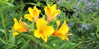 Желтый цвет Alstroemeria Стоковая Фотография RF