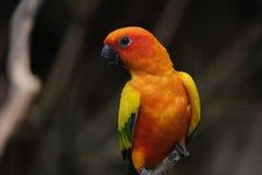 желтый цвет barbet красный Стоковое Фото