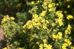 Желтый цвет Bloodroot стоковое фото rf