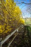 Желтый цвет bushed вдоль белой загородки Стоковые Изображения RF