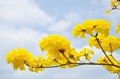 Желтый цвет chrysotricha Tabebuia цветет цветение Стоковая Фотография RF