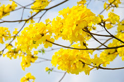 Желтый цвет chrysotricha Tabebuia цветет цветение Стоковое Фото