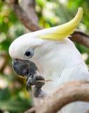 желтый цвет crested cockatoo белый Стоковые Фотографии RF