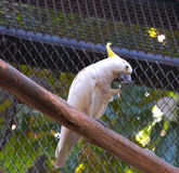 желтый цвет crested cockatoo Стоковое фото RF