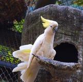 желтый цвет crested cockatoo Стоковое Изображение