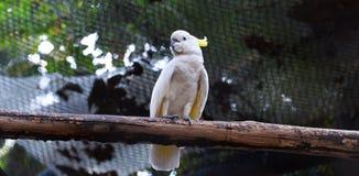 желтый цвет crested cockatoo Стоковое Изображение RF