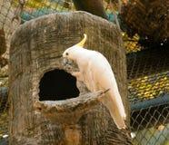 желтый цвет crested cockatoo Стоковые Изображения RF