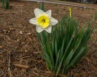 желтый цвет daffodil белый Стоковое Фото