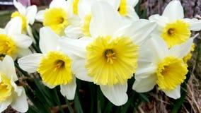 желтый цвет daffodils белый Стоковая Фотография