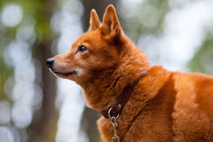 желтый цвет labrador звероловства собаки предпосылок белый Стоковые Фотографии RF