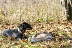 желтый цвет labrador звероловства собаки предпосылок белый Стоковые Фото