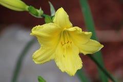 Желтый цвет llly стоковая фотография rf