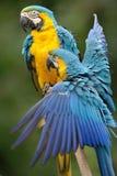 желтый цвет macaw ararauna ara голубой стоковые фото