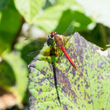 желтый цвет meadowhawk dragonfly legged Стоковые Фото