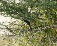 Желтый цвет Morph малинового-breasted Shrike Стоковое Фото