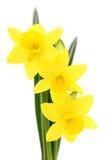 желтый цвет narcissus 3 Стоковое фото RF