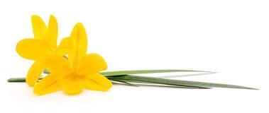 желтый цвет narcissus 3 Стоковое Изображение