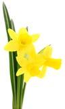 желтый цвет narcissus 3 Стоковые Фотографии RF